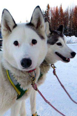 Iditarod dogs.