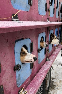 Dogs waiting in their pens prior to the start of the Iditarod race.